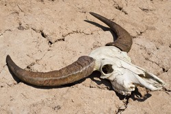 Buffalo skull in drought disaster land.