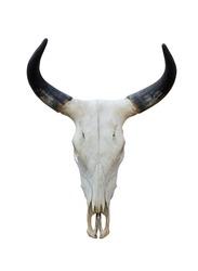 Buffalo skull isolate on white background