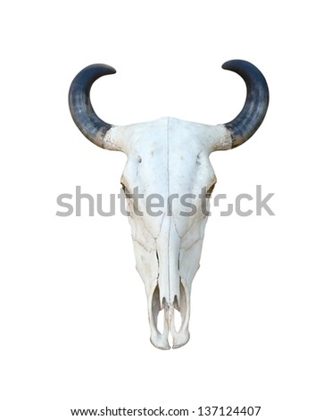 Buffalo skull isolate on white background