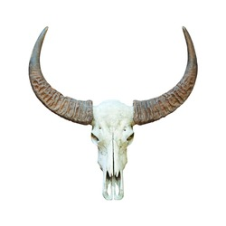 Buffalo skull isolated.