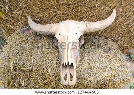 Buffalo skull on rice straw