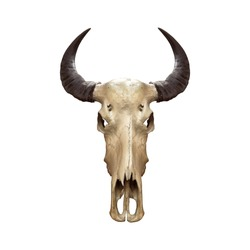 Buffalo skull or caw isolated on white background