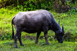 buffalo standing and grazing grass in the morning light, eating some fresh green grass in the farm. Buffalo in Southeast Asia