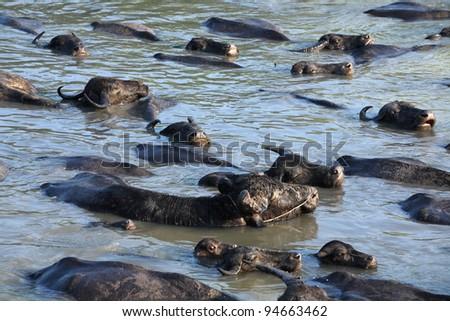buffalo swimming in a river.