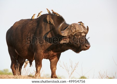 Buffalo (Syncerus caffer) close-up with Red-billed Oxpecker (Buphagus erythrorhynchus) in the wild in South Africa