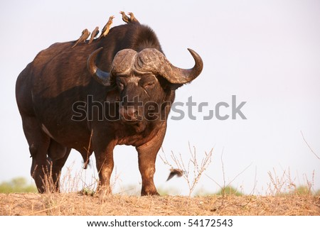Buffalo (Syncerus caffer) close-up with Red-billed Oxpeckers (Buphagus erythrorhynchus) in the wild in South Africa