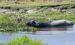 buffalo waking inside the lake, pokhara , nepal