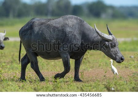 buffalo penis