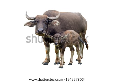 buffaloes and baby buffalo gazing (Bubalus bubalis) or Thai domestic water buffalo isolate on white background.