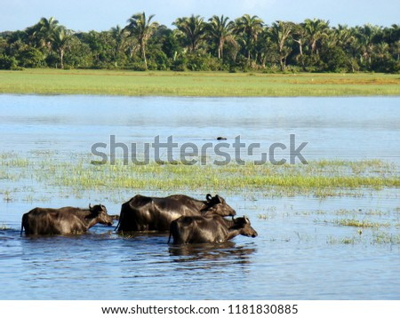 Buffaloes in a region of flooded fields in the state of Pará, Amazon region in northern Brazil.