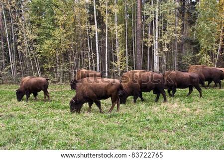 Buffaloes in Northwest Canada