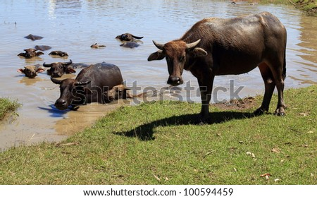 buffaloes in the pool