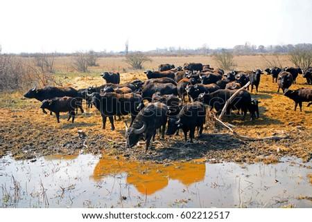 Buffalos, Apajpuszta, Hungary #602212517