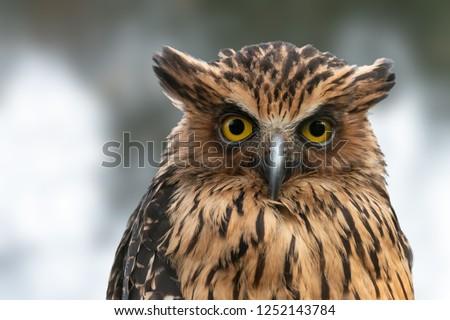 Buffy Fish-owl close-up portrait. Malay fish owl (Ketupa ketupu)  with yellow eyes and raised ear tufts.