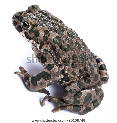 Bufo viridis, European green toad.Toad in studio against a white background. Denisovo. Ryazan region, Pronsky area. Russia.