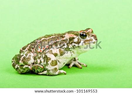 Bufo viridis. Green toad on green background. Studio macro shot. - stock photo