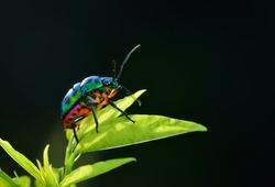 Bug (Chrysocoris stollii) in nature
