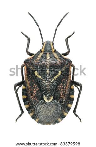Bug Codophila maculicollis on a white background