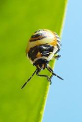 Bug instar