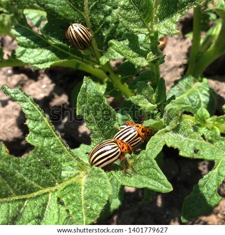 Bug Macro Photo  The Colorado Beetle. Texture Colorado striped beetles are sitting on the leaves of potatoes.