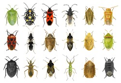 Bug species of Mediterranean Region (Insects of the order Hemiptera) isolated on a white background