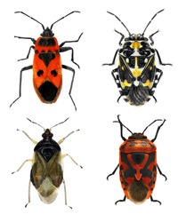 Bug species of Mediterranean Region (Insects of the order Hemiptera) on a white background