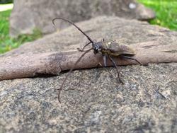 bug spine oak borer beetle