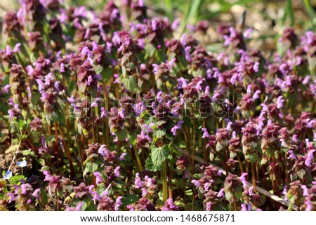 Bugleweed or Ajuga or Ground pine or Carpet bugle or Bugle densely planted small herbaceous flowering plants with pink flowers and dark green leathery leaves growing in local garden