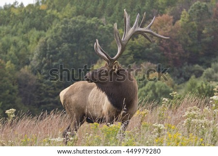 Bugling Bull Elk photographed in Elk State Forest, Elk County, Pennsylvania