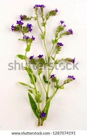 Bugloss botanical board