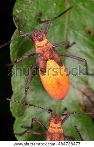 Bugs are vibrant and diverse insects from wet tropical rain forests of Mexico. Some bugs are live in colonies. Insecta, Hemiptera, Heteroptera
