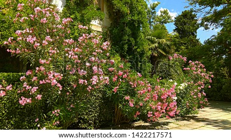 Building abounding in vine dense foliage & surrounded with gorgeous Pink & White Oleander shrubs, partially covering trimmed green bushes in a botanical garden on a sunny day. Mounded Oleander shrubs. #1422217571