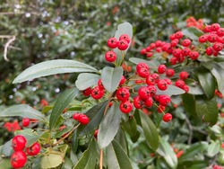 Buisson ardent or Red Colum fruits on shrub tree