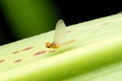 Bulb headed mayfly, Ephemera danica, Satara, Maharashtra, India