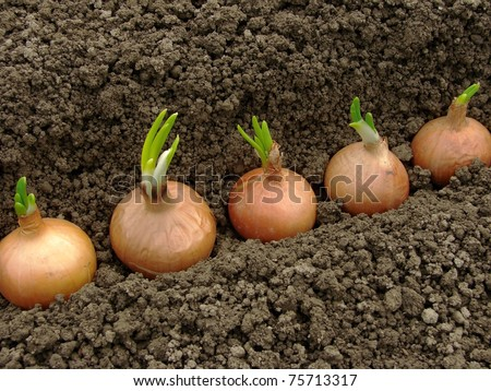 bulbs ready to plant for green onions