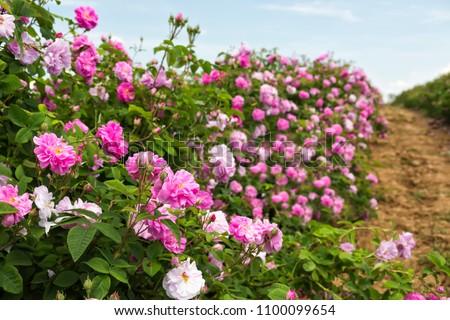 Bulgarian rose valley near Kazanlak. Rose Damascena fields.