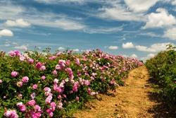 Bulgarian rose valley near Kazanlak. Rose Damascena fields fluffy white clouds in the sky