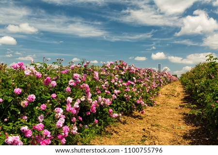 Bulgarian rose valley near Kazanlak. Rose Damascena fields fluffy white clouds in the sky #1100755796