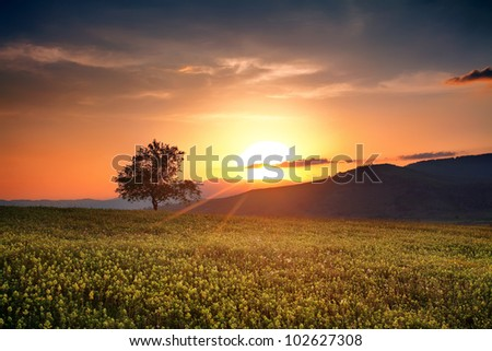 bulgarian summer HDR sunset with single calm tree over the yellow field