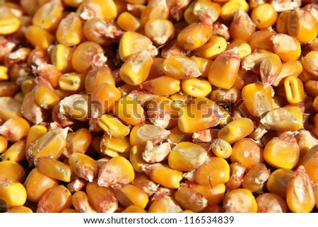 Bulk of corn grains