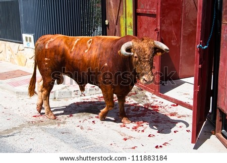 Bull after a bull running in a small village with blood on the floor due to the hoof injuries.