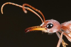 Bull-ant Queen from Wester Australia 2020