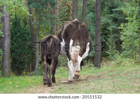 bull calf and cow in pine forest