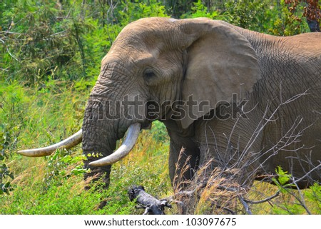 Bull Elephant Looks round, This is an image of A large mature Bull Elephant wandering around under a setting sun in South Africa.