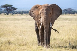 Bull elephant, loxodonta africana, in the grasslands of Amboseli National Park, Kenya. Front view.