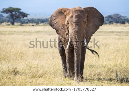 Bull elephant, loxodonta africana, in the grasslands of Amboseli National Park, Kenya. Front view.