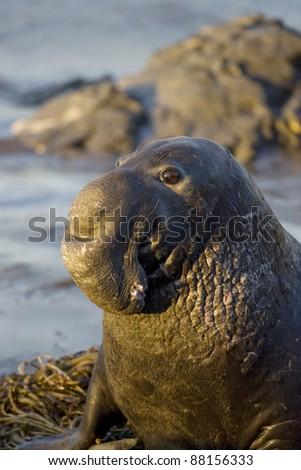 Bull Elephant Seal at sunrise in San Simeon - stock photo