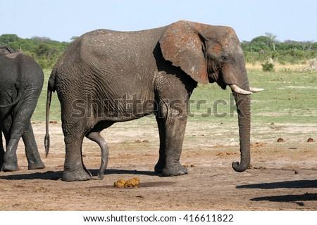 is an elephant dick big How
