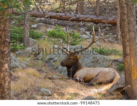 Bull Elk asleep in the woods in Rocky Mountain National Park in Colorado