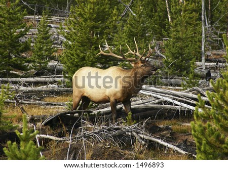 Bull Elk Bugling and grunting for his ladies in Yellowstone National Park